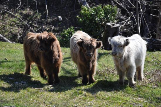 Les jeunes Highlands de la ferme de la Bisette