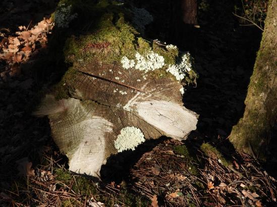 Bois mort dans la forêt de Chantegraille