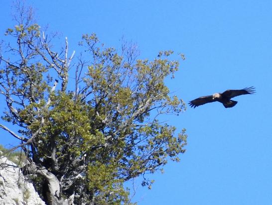 L'aigle royal d'Izon-la-Bruisse