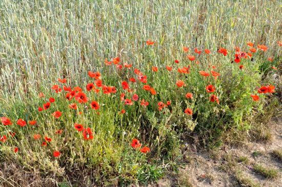 Les coquelicots en bordure des champs entre Etampes et Boutigny