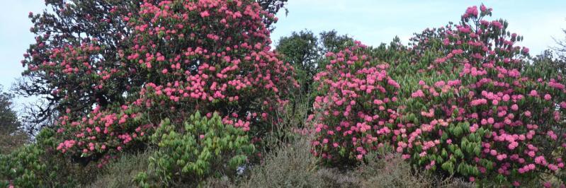 Rhododendrons sur la Kharpu danda