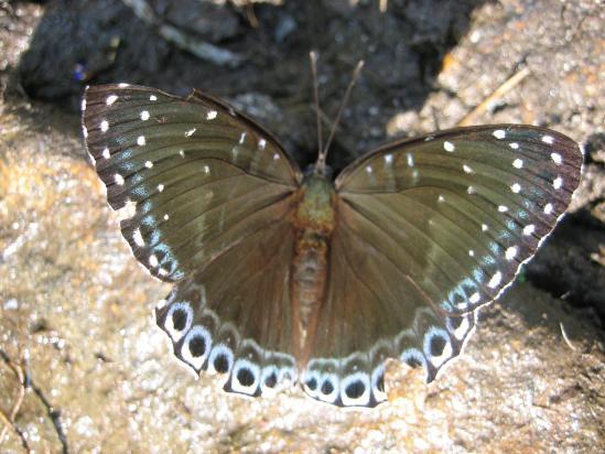 Un papillon de la vallée de la Marsyangdi khola
