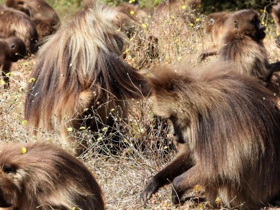 Une famille de singes Gélada