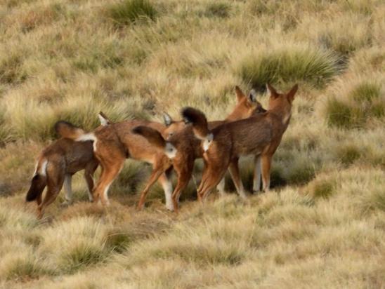 A Geech, une horde de loups d'Abyssinie (1% du cheptel mondial supposé sur la photo...)