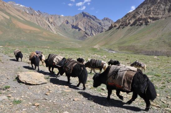 Caravane de yacks du côté de Dibling