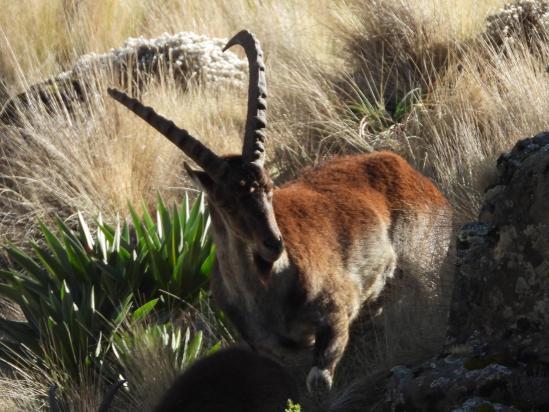 Un ibex waliya du côté du Ras Bwahit
