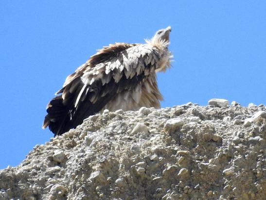 Entre Tashi Kabum et Luri gonpa, une aire de vautours-fauves