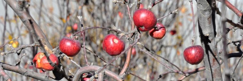 Les fameuses pommes de Marpha (Mustang)